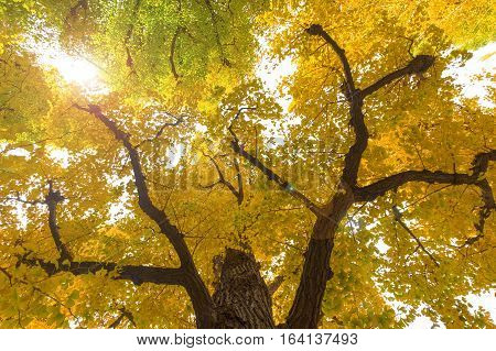 Green and yellow fall leaves of Ginkgo Biloba Maidenhair trees in autumn at Japan