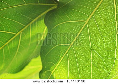 abstact background of Bodhi or Peepal Leaf from the Bodhi tree