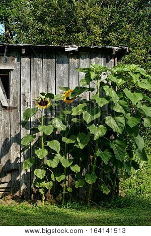 Sunflowers planted next to an old wooden storage building in rural western Kentucky.
