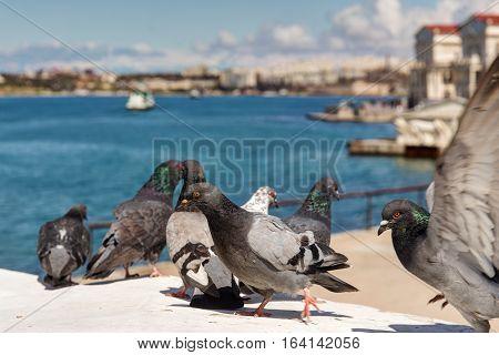 flock of pigeons on the seafront in Sevastopol