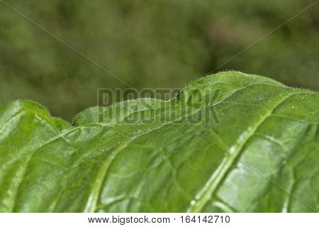 Detail of edge of a young burley tobacco leaf. The leaves are not only sticky but have small hairs making them cling to clothing much like Velcro.