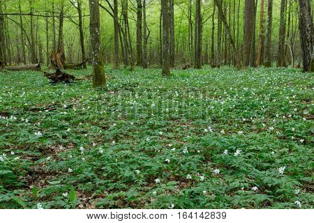 Flowering wood anemone and hornbeams around in spring, Bialowieza Forest, Poland, Europe