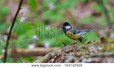 Screaming Great Tit (Parus major) closeup in spring against fuzzy background, Poland, Europe