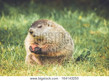 Cute and chubby Groundhog on alert with carrot in hands