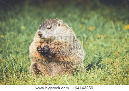 Groundhog in vintage garden setting holding carrot in hands