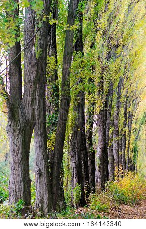 Alley of trees with yellow leaves along the road
