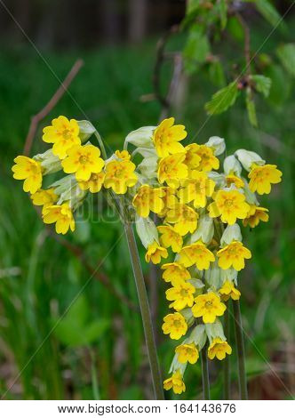 Flowering cowslip(Primula veris) closeup against green fuzzy background, Poland, Europe