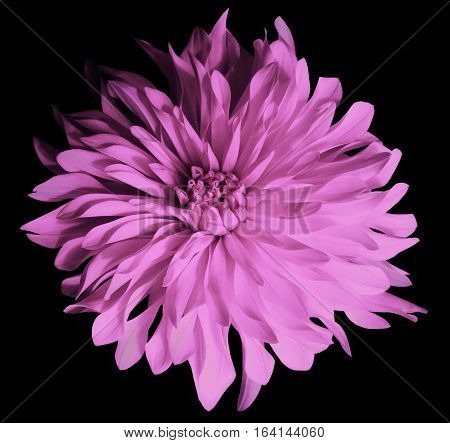 pink flower on a black background isolated with clipping path. Closeup. Big shaggy flower. Dahlia.