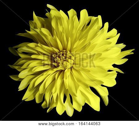 yellow flower on a black background isolated with clipping path. Closeup. Big shaggy flower. Dahlia.