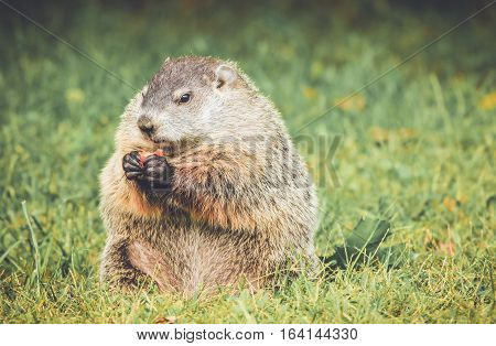 Groundhog in grass holding carrot in hands