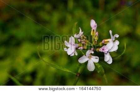 Flowering Coralroot Bittercress(Cardamine bulbifera) closeup against fuzzy green background