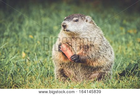 Groundhog in vintage garden setting standing up holding carrot