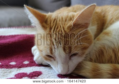 Orange and white cat sleeping in a red blanket