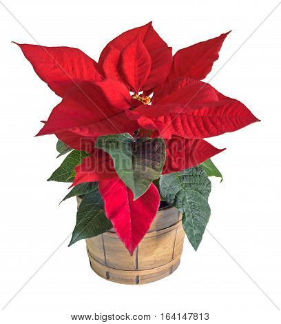 The Poinsettia Red Flowers (euphorbia Pulcherrima), The Flower Of The Christmas, Vintage Vase, White