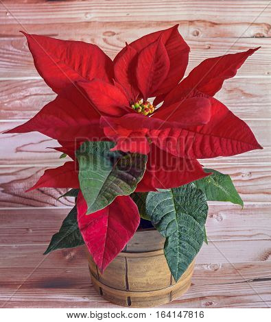 The Poinsettia Red Flowers (euphorbia Pulcherrima), The Flower Of The Christmas, Vintage Vase, Woode