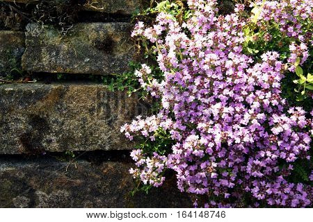 Thyme lilac flowers on stone wall background