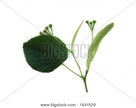 Lime Tree Sprig