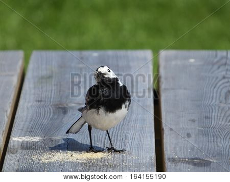 Pied Wagtail standing beside crumbs left on picnic table