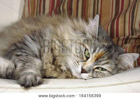 Siberian female cat laid down on sofa.