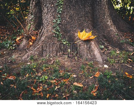 Autumn season. Golden fallen leaf on the roots of a giant tree.