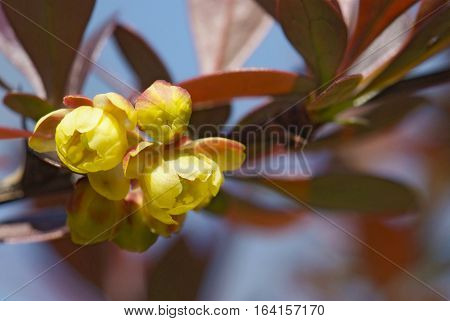 close up flowers of barberry in spring garden