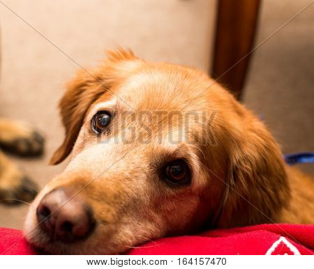 Golden retriever dog laying on a red blanket.