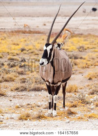 Front view of gemsbok, gemsbuck, Oryx gazella, antelope. Native to the Kalahari Desert, Namibia and Botswana, South Africa.