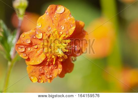 close up orange flower of Geum quellyon