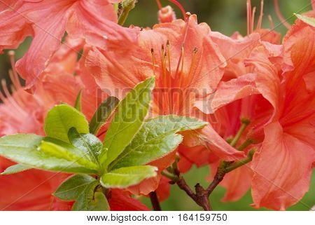 close up red flowering rhododendron in spring garden