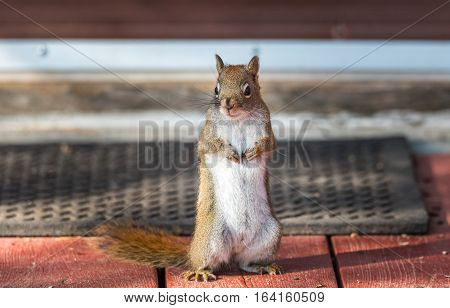 Red squirrel, close up,  standing up on a deck in front of a door mat, paws tucked to chest.
