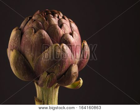 Close up of an organic artichoke on a dark background