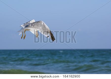 Seagulls (lat. Larus argentatus) in flight over sea