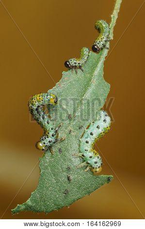 Rozanova larvae of the Sawfly (lat. Arge ochropus) on the sheet roses (lat. Rose)
