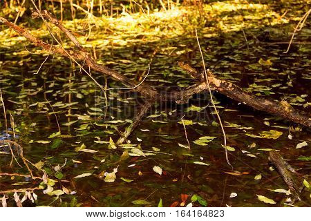 snag sticking out of the swamp covered with fallen autumn leaves and sunlight