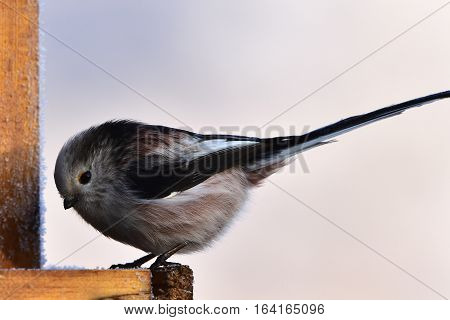 Long-tailed tit on feeder,here in Czech republic