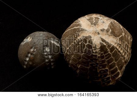 Fossils Of Sea Urchins Macro