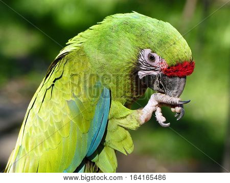 ara militaris  is a large parrot and a medium-sized macaw