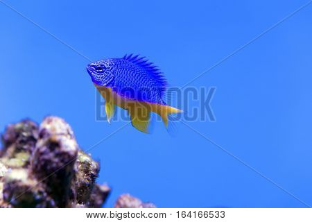 Azure Damselfish (Chrysiptera hemicyanea). Fish of the genus Pomacentridae