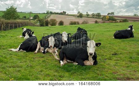 Cattle relaxing in a field in the British countryside.