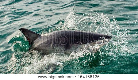 Great White Shark (carcharodon Carcharias) In Ocean Water An Attack. Hunting Of A Great White Shark