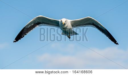 Flying  Adult Kelp Gull (larus Dominicanus), Also Known As The Dominican Gull And Black Backed Kelp