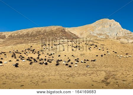 flock of sheep and goats grazing in the Himalaya mountains, Nepal