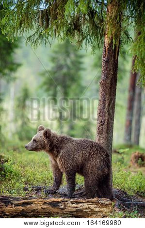 Wild Juvenile Brown Bear (ursus Arctos Arctos) In The Summer Forest. Natural Green Forest Background