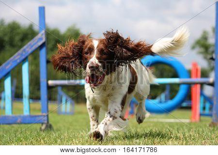 Liver And White Working Type English Springer Spaniel Pet Gundog Running