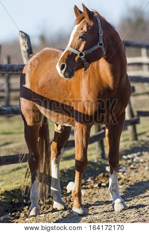 Purebred horse peaceful standing in front of wooden corral fence in beautiful winter lights. Check out my another equine photos please