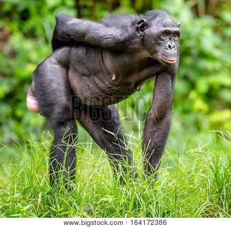 Adult female of Bonobo on the Green natural background in natural habitat. The Bonobo ( Pan paniscus) called the pygmy chimpanzee. Democratic Republic of Congo. Africa