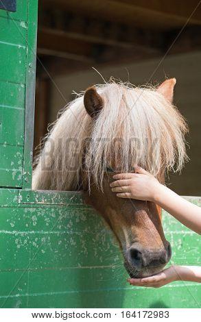 Child stroking a shetland pony (Equus przewalski caballus) poster