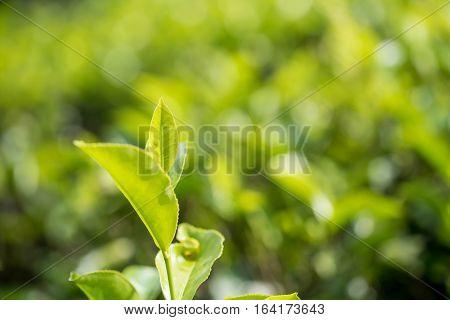 Green lush leaves of tea or Camellia sinensis in Sri Lanka