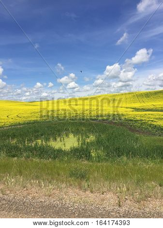 Prairie canola field landscape.Lush bright yellow and green crop fields and hills, bright blue sky and white clouds background.  Agriculture farm in summer.