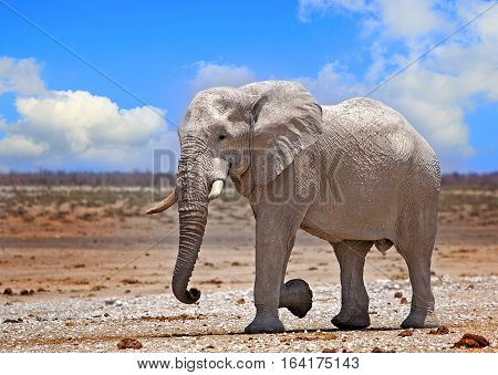 lARGE african Elephant strolling across the dry plains in Etosha National Park, with a vibrant blue cloudy sky, Namibia, Southern Africa